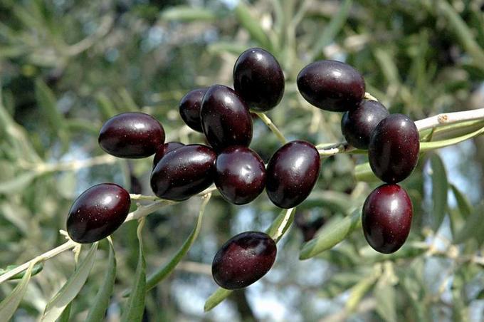 oliva-empeltre